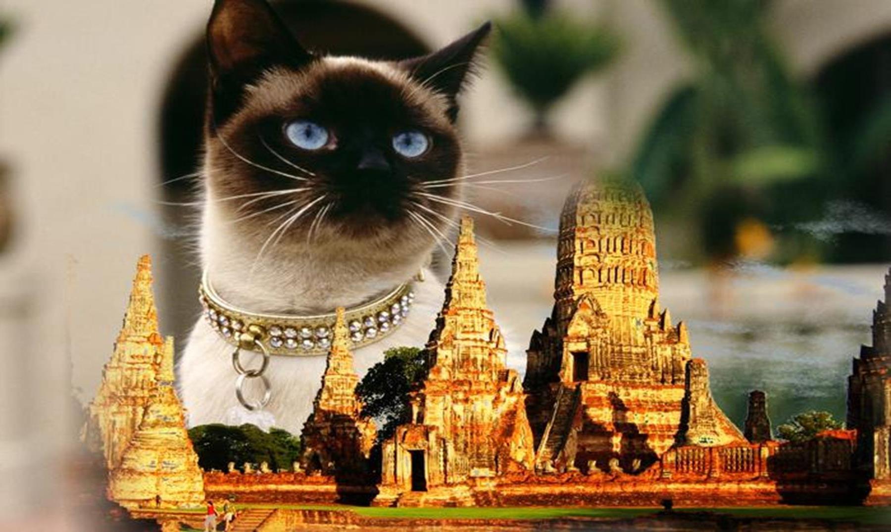 La historia de los gatos siameses, adorandos por los reyes de Tailandia