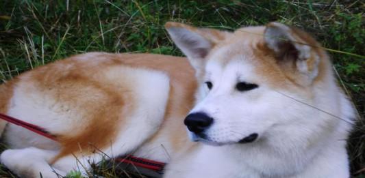 Akita, el distinguido y fiel perro japonés