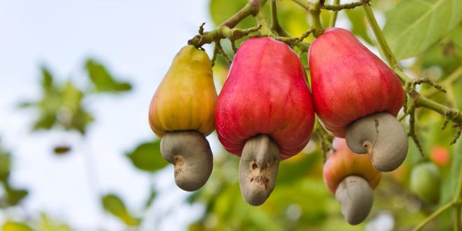 anacardos planta