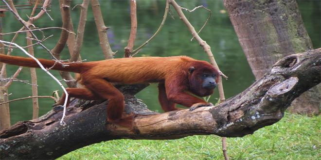 araguato, 15 curiosidades de animales que te asombrarán