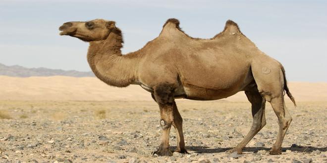 camello, 15 curiosidades de animales que te asombrarán