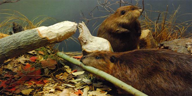 castores, 15 curiosidades de animales que te asombrarán