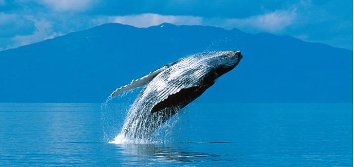 datos curiosos de las ballenas
