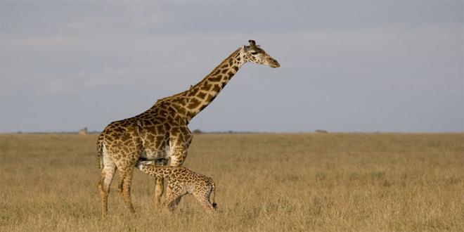 jirafas, 15 curiosidades de animales que te asombrarán