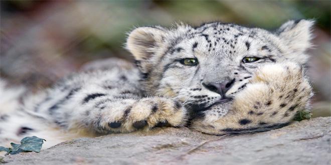 leopardo de las nieves, 15 curiosidades de animales que te asombrarán