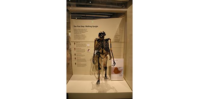 Lucy, nuestra famosa australopitecus