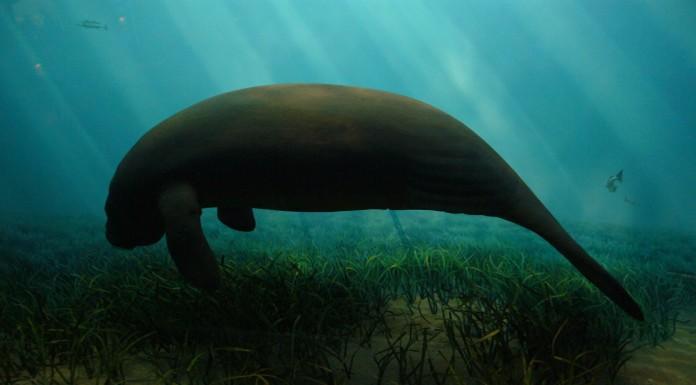 El dugongo, ¿sirena o vaca marina?