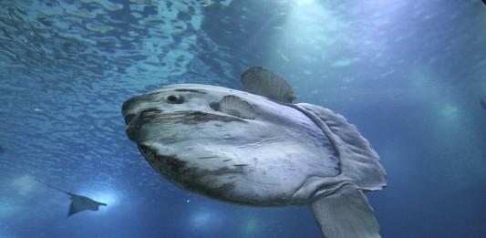 Opah, el primer pez conocido de sangre caliente