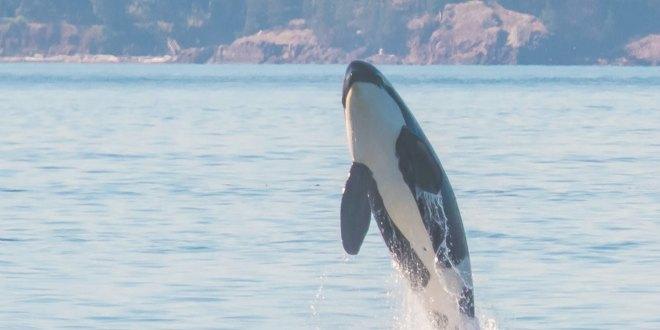 orcasvs1
