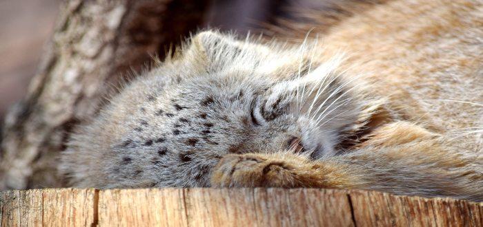 El gato de manul o Pallás, el felino más expresivo