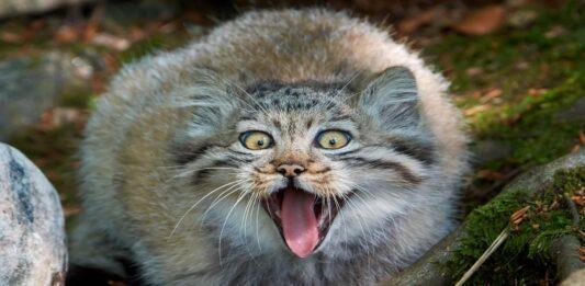 Gato Manul, El felino más expresivo del planeta