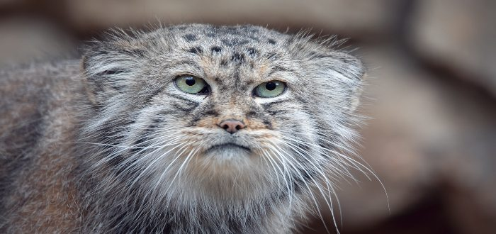 Gato Manul, Reproducción