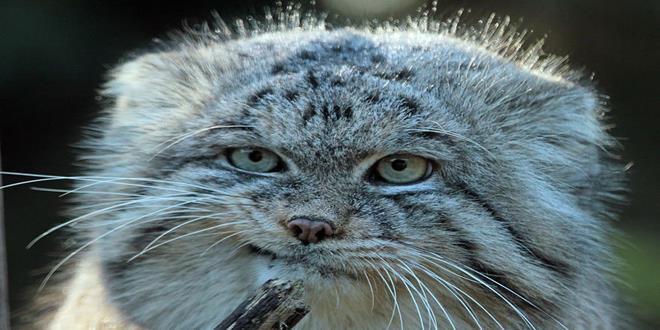 Manul_cat_gato4 (Copy)