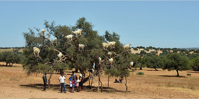 cabra árbol