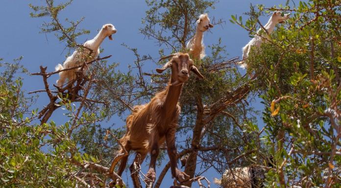 ¿Por qué las cabras se suben a los árboles?