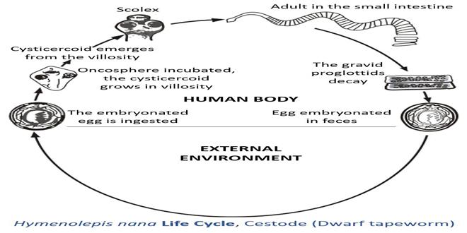 Ciclo de vida de la lombriz