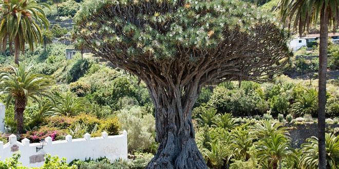 árbol draco