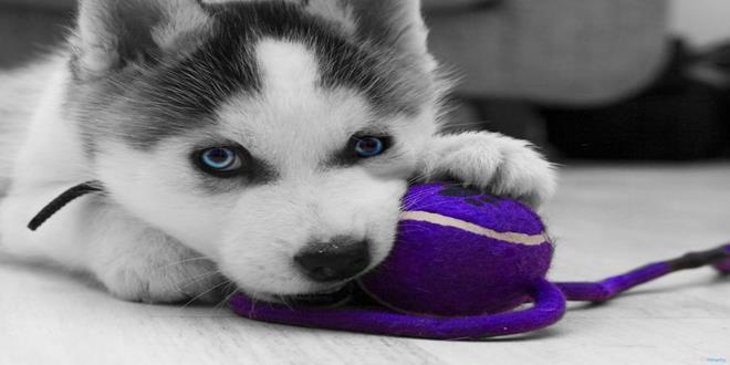 474737__siberian-husky-puppy_p (Copy)