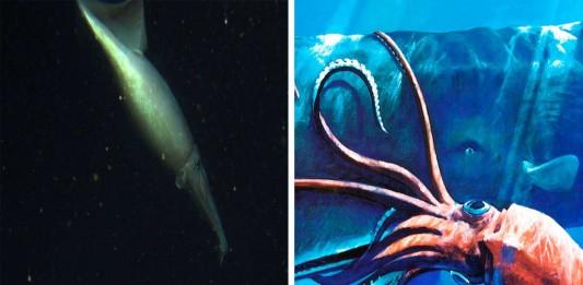 calamar de humboldt
