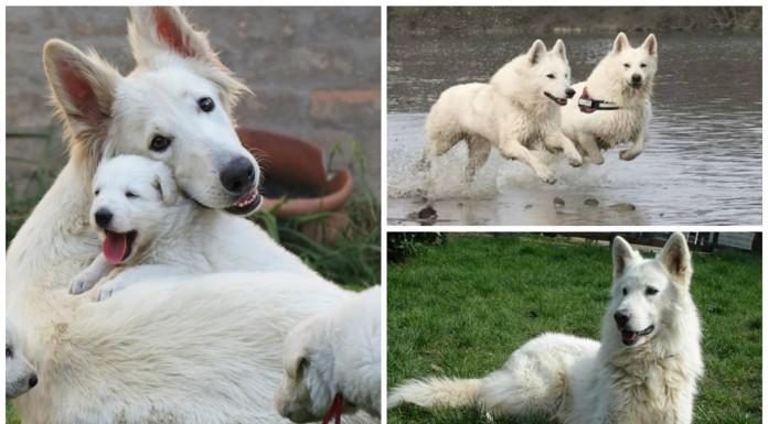 El pastor blanco suizo, un perro de gran sensibilidad