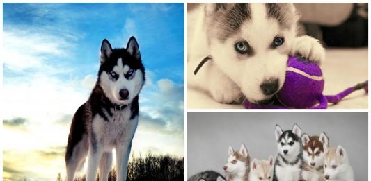 Husky siberiano: algo más que un buen amigo en la familia