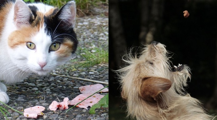 ¿Por qué los gatos son maniáticos con la comida y los perros menos?