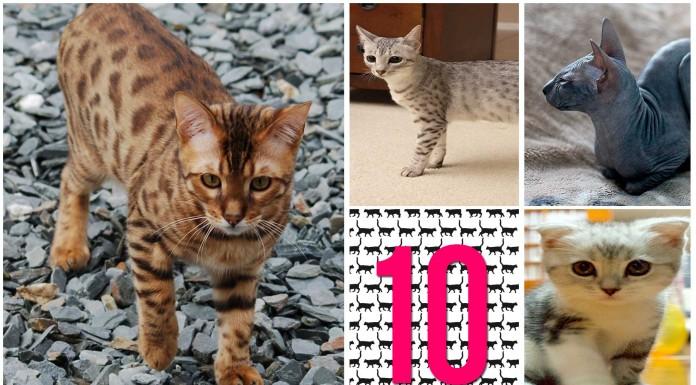 10 razas de gatos raras que quizás no conocías - Supercurioso