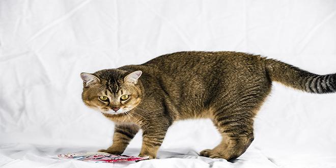 Burmilla, razas de gatos raras