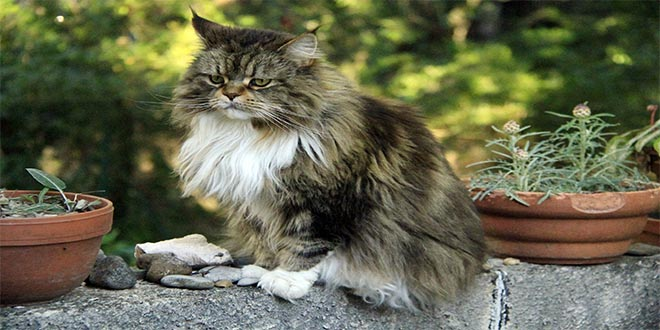 Joven Coon Maine, razas de gatos raras