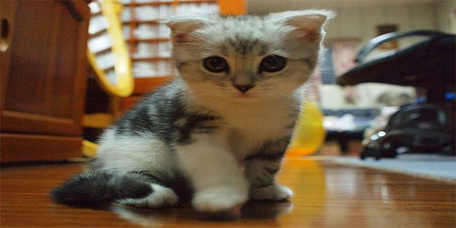Fold escocés, razas de gatos raras