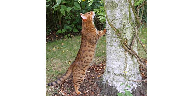 Gato de bengala, razas de gatos raras