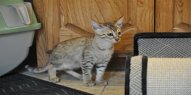 Gato de sabana, razas de gatos raras
