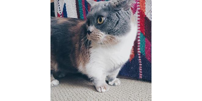 Munchkin, razas de gatos raras