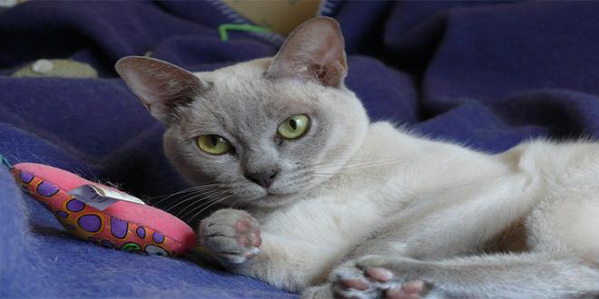 Tonkinés, razas de gatos raras