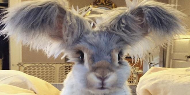 corte-pelo-orejas-conejo-angora-wally-5 (Copy)