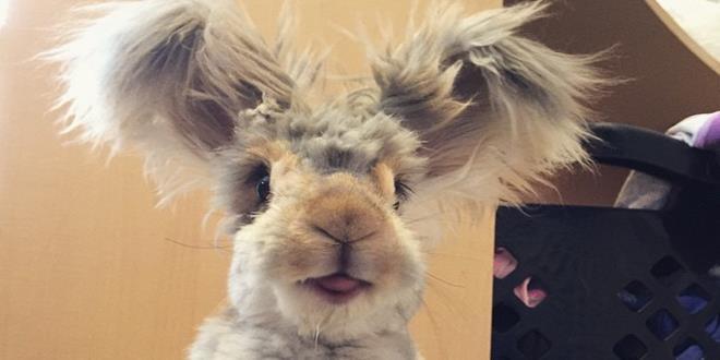 corte-pelo-orejas-conejo-angora-wally-6 (Copy)