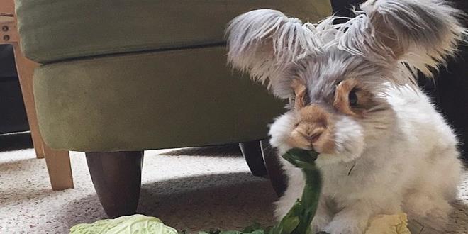 corte-pelo-orejas-conejo-angora-wally-9 (Copy)