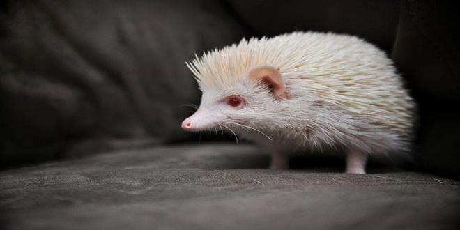 erizo-albino (Copy)