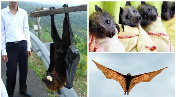 Zorros voladores: imprescindibles para el equilibrio natural