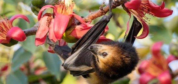 Zorros voladores, imprescindibles para el equilibrio natural