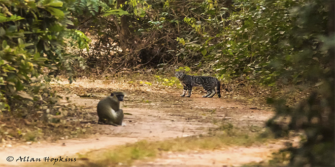 Gato africano, o gato salvaje occidental, Felis silvestris lybica