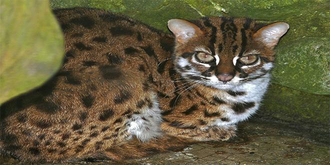 Leopardo asiático, P. bengalensis