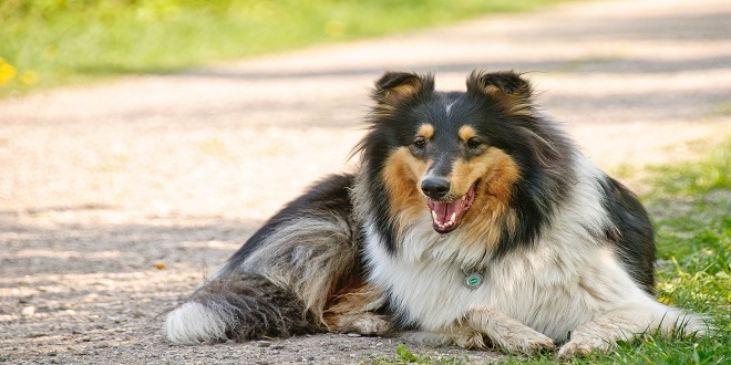 raza collie