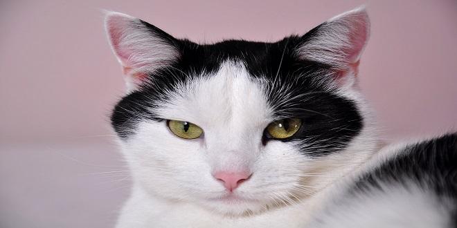 gato china