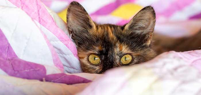 historia de los gatos carey