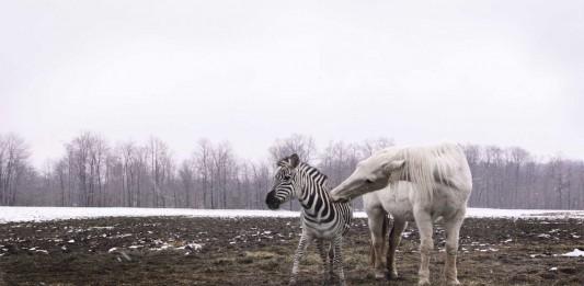 ¿Por qué no montamos en cebra, pero sí en caballo?