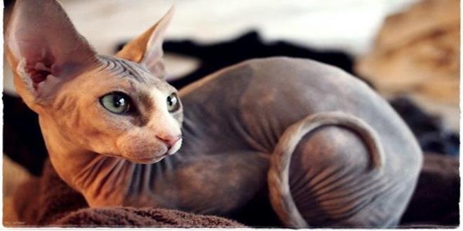 gato sphynx, gato esfinge