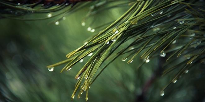 naturaleza pino