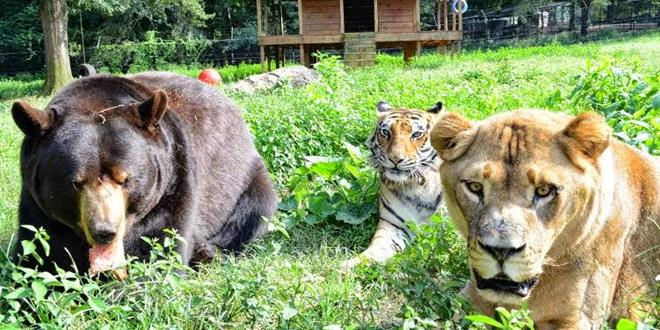 un tigre, un oso y un léon
