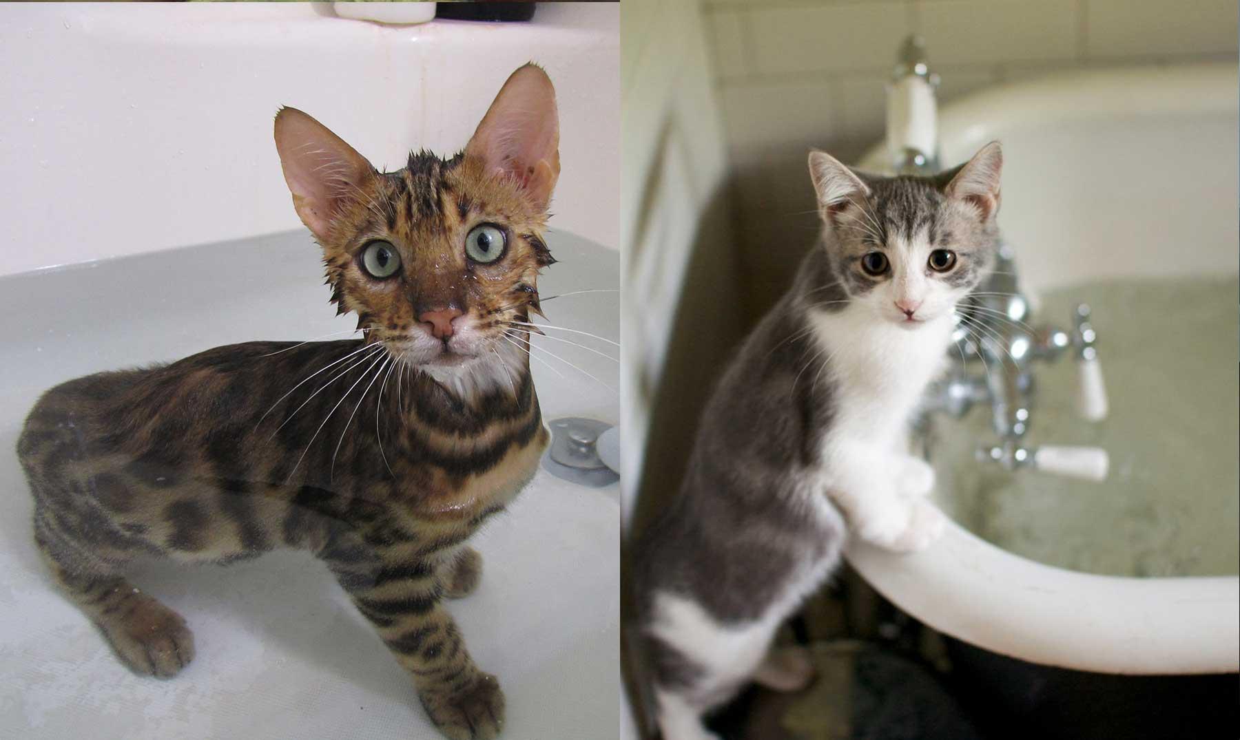 7 tipos de gatos que sí querrán meterse en el agua contigo